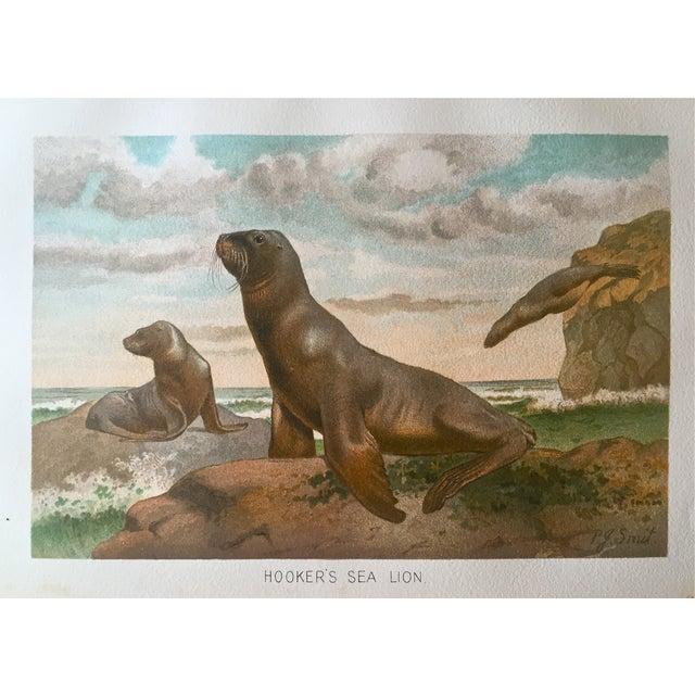 Antique Lithograph Sea Lion C.1906 For Sale