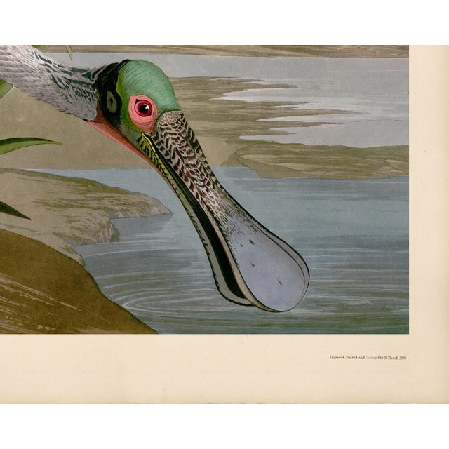 Giclee reproduction of John J. Audubon's Roseate Spoonbill remastered by CFA Editions. The Roseate Spoonbill bird is...