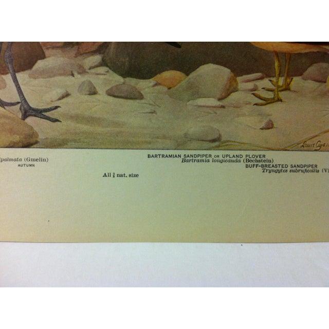 """Realism 1925 """"Willet - Bartramian Sandpiper"""" the State Museum Birds of New York Print For Sale - Image 3 of 4"""