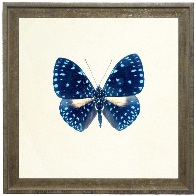 A bright blue butterfly with light blue spots print framed in distressed cream and gold moulding. 15x15