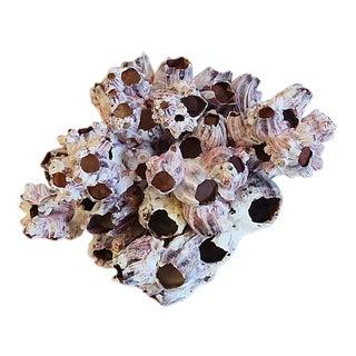 Large Natural Ocean Sea Barnacle Cluster