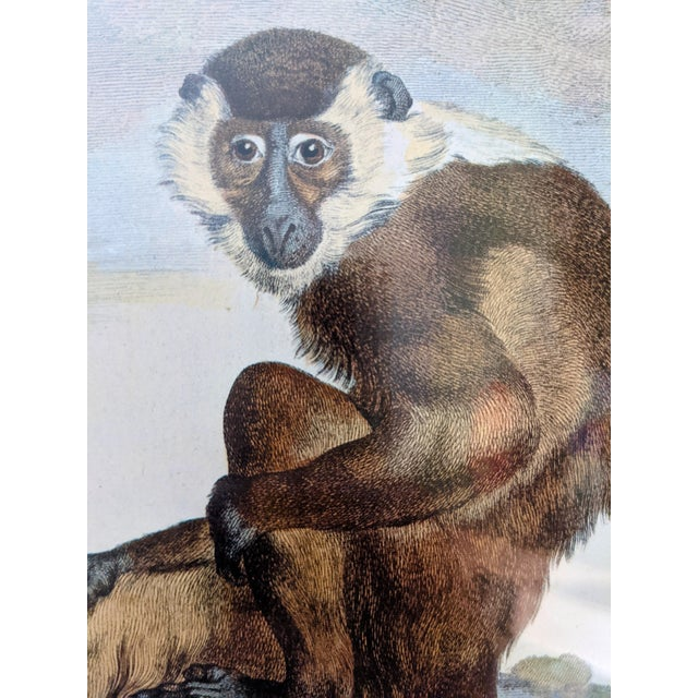 Late 20th Century Hand-Colored Engravings of Monkeys After G. Buffon, Framed - Set of 4 For Sale - Image 9 of 13