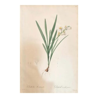 Gladious Xanthospilus Hand Colored Engraving Signed p.j. Redoute & Numbered For Sale