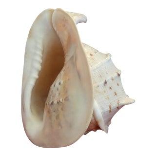 Whelk Seashell Specimen For Sale