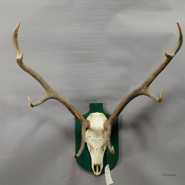 a great uneven 10 pointer black forest deer trophy from the palace of salem in south germany. shoot by a member of the...
