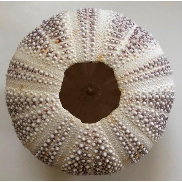 Art Nouveau 1930s Sea Urchin Shell For Sale - Image 3 of 4
