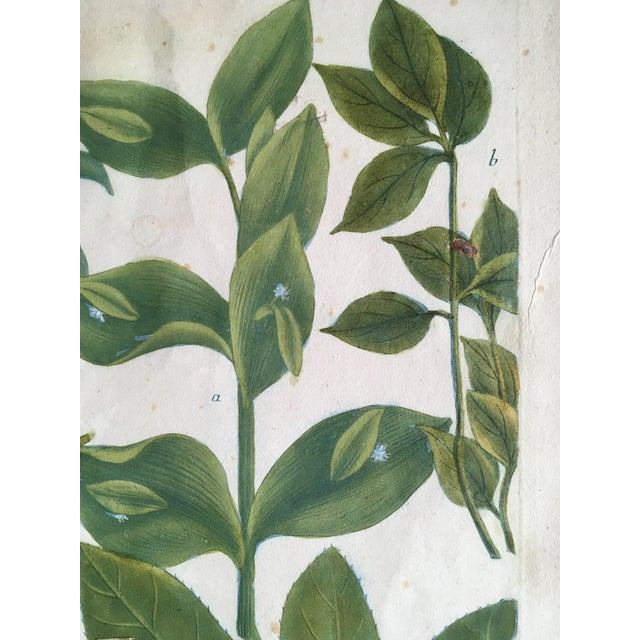Mid 18th Century Antique Johann Wilhelm Weinmann Olive Branches Print For Sale - Image 4 of 11
