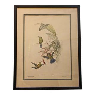 "Vintage Lithograph Study of Hummingbirds, ""Erythronota Sophiae"", Hullmandel & Walton For Sale"