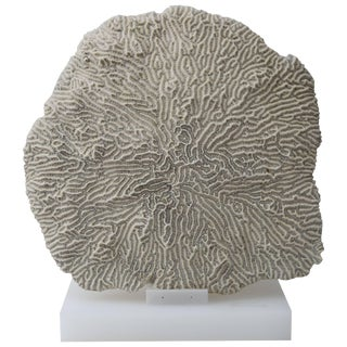 Large White Specimen Brain Coral Mounted on Solid White Lucite Base For Sale