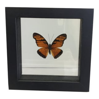 Butterfly Displayed in a Shadow Box Frame For Sale