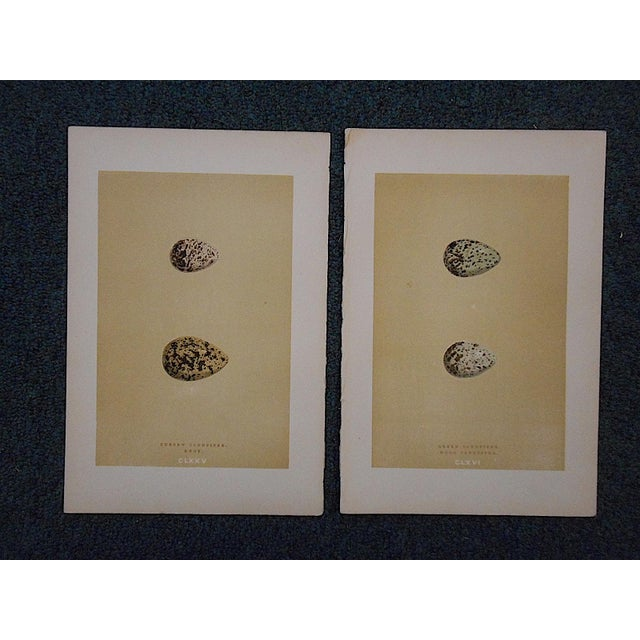 Realism Antique Egg Lithographs-Set of 2-Sandpiper Eggs For Sale - Image 3 of 3