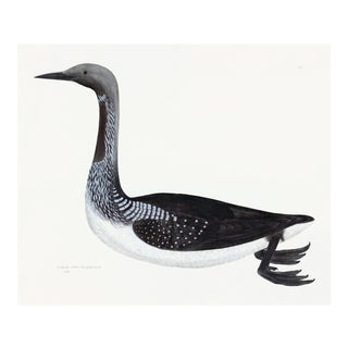 Black Throated Diver Plate 33 by Olof Rudbeck (Cfa-Wd) For Sale