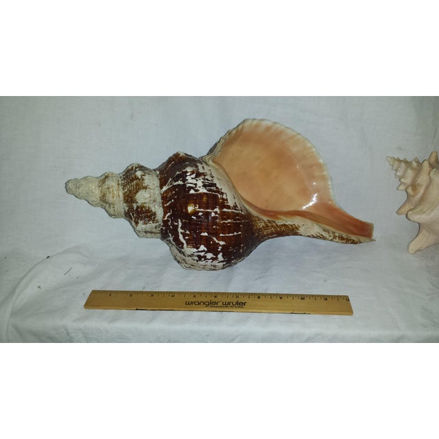 Huge Nautical Natural Conch Shells - a Pair For Sale In Sacramento - Image 6 of 6
