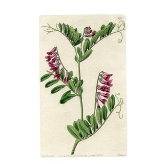Dark Purple Vetch, 1825 Botanical Print For Sale