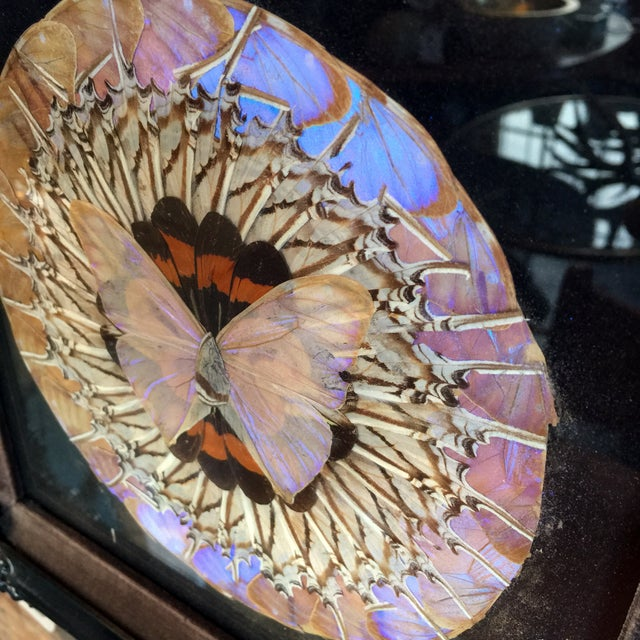 Victorian Butterfly Framed Under Glass - Image 2 of 3
