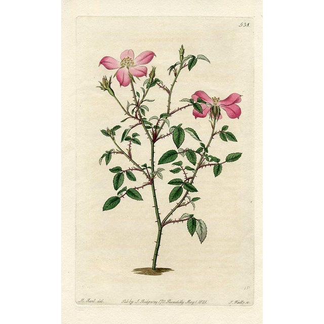 Miss Lawrence's Rose, 1821 Engraving For Sale - Image 4 of 4