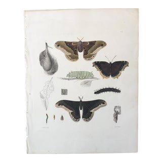1854 Emmons Entomology Insect Lithograph - Prometheus Moth