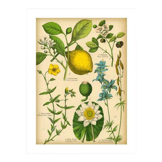 Antique 'Lemon Botanical' Archival Print For Sale