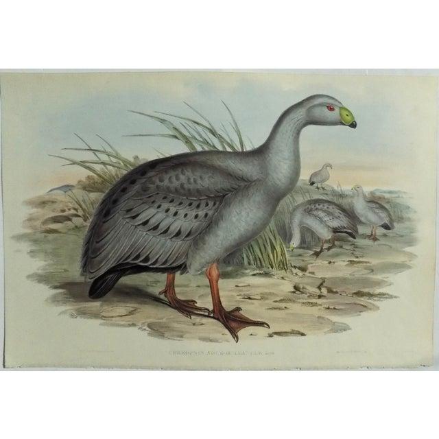 1840s Cape Barren Goose John Gould Print For Sale - Image 6 of 11