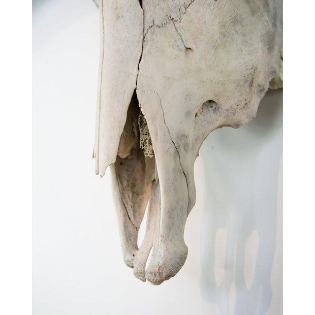 Animal Skin Texas Longhorn Skull Mount For Sale - Image 7 of 11