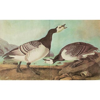 1966 Cottage Print of Barnacle Goose by Audubon For Sale