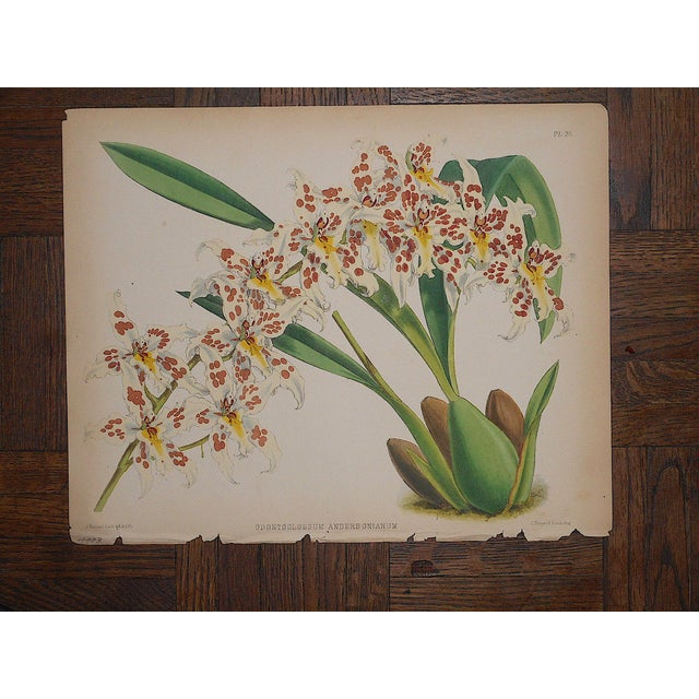 Antique 19th Century Orchid Lithographs-Set of 3 For Sale - Image 4 of 7