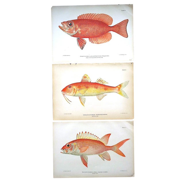 Antique Tropical Fish Lithographs - Set of 3 - Image 1 of 5