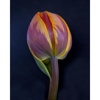 Macro Tulip Photograph For Sale