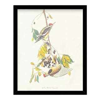 Custom Black Wood Frame of Authentic Vintage John James Audubon Yellow Bellied Sapsucker Bird & Botanical Print For Sale