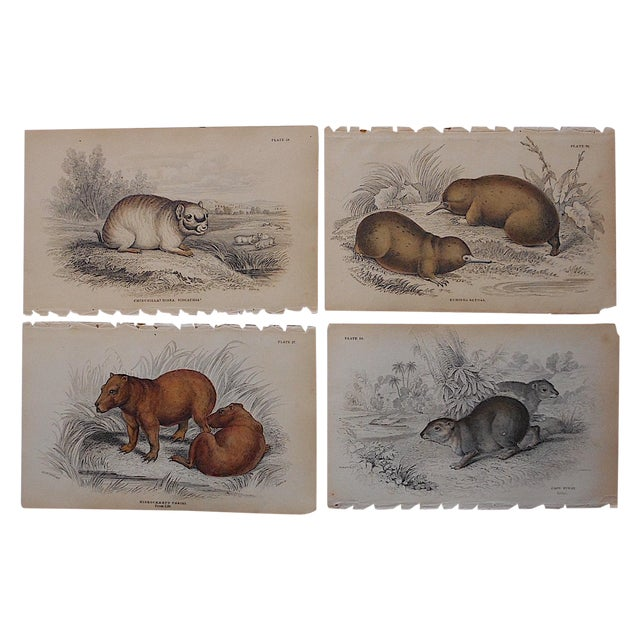 Antique Engravings Mammals - Set of 4 For Sale
