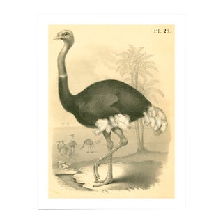 Antique Ostrich Archival Print For Sale