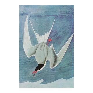 Common Tern by John J. Audubon, Vintage Nautical Style Print For Sale