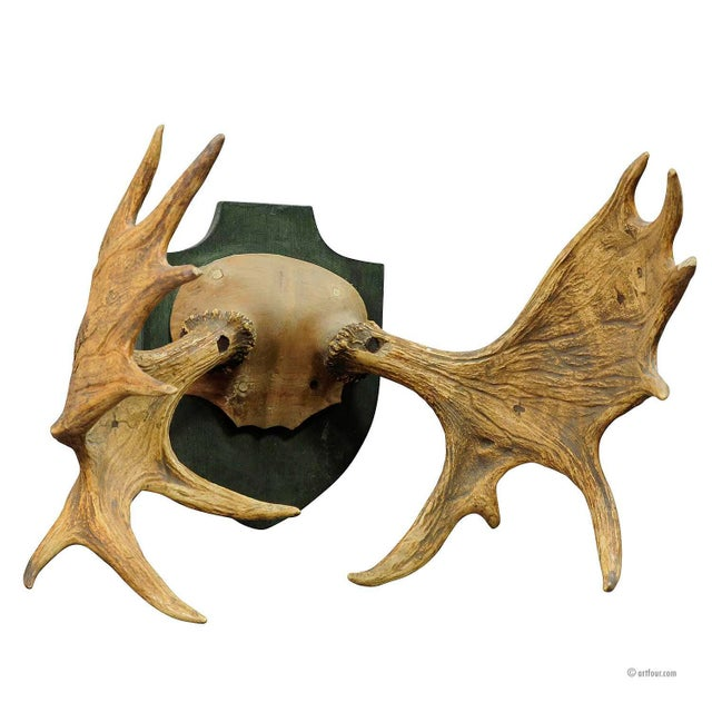 Large Moose Trophy From A Noble Estate, Germany Ca. 1930 For Sale - Image 4 of 4