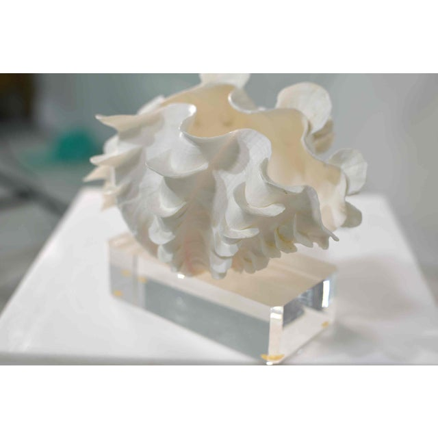 Nautical Frilled Conch Shell Sculpture on Clear Acrylic Base For Sale - Image 3 of 13