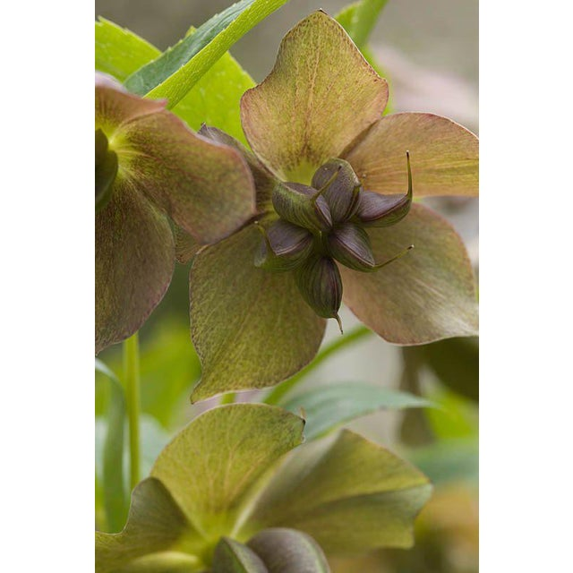 Helleborus Niger Seed Pod by Anne Curry MRBS - Image 6 of 10