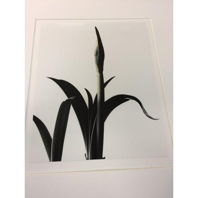 Imogen Cunningham Estate Photograph Amaryllis Bud For Sale - Image 5 of 9
