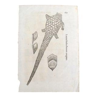 17th Century Italian Vintage Lacerta Indica Iuannae Congener (P.667-668) Book Page, Colored Steel Engraving