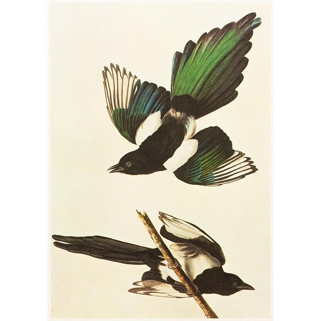 "Lithograph 1966 ""American Magpie"" Lithograph by John James Audubon For Sale - Image 7 of 8"
