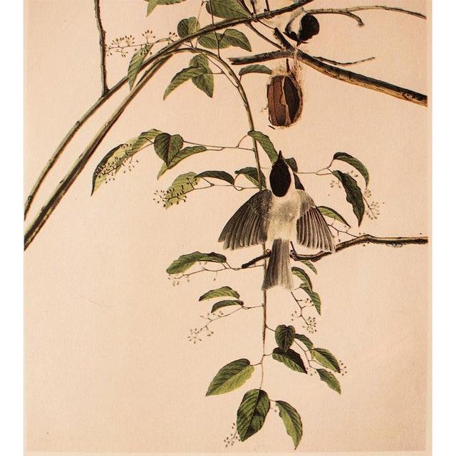 John James Audubon 1960s Cottage Lithograph of Carolina Titmouse or Carolina Chickadee by Audubon For Sale - Image 4 of 8