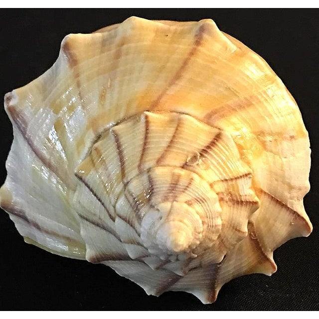 Busycon Carica Seashell Brown Striped Shell For Sale In Dallas - Image 6 of 7