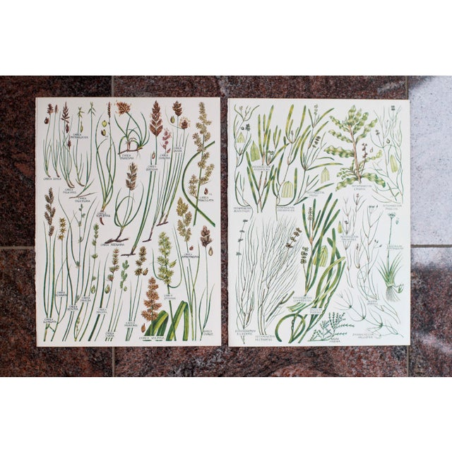 Paper Vintage Botanical Wheat Prints - A Pair For Sale - Image 7 of 7