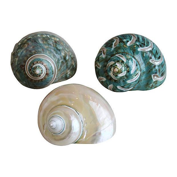 Set of three turbo seashells/hermit crab shells. No maker's mark. All are approximately the same in size and shape.