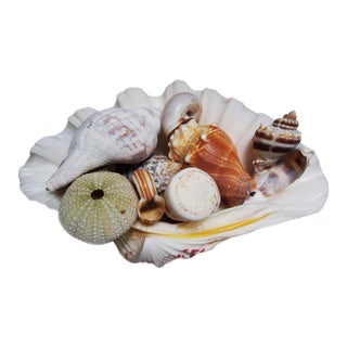 Decorative Clam Shell Collection For Sale