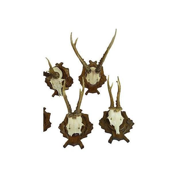 Antique Deer Antler Trophy Mount - Set of 5 - Image 5 of 6