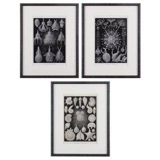 Late 19th Century Antique Haeckel's Marine Plankton Framed Lithographs - Set of 3 For Sale