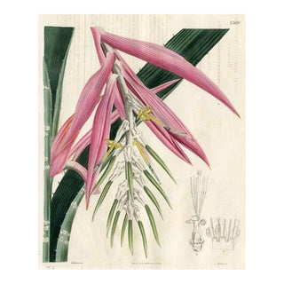White-Barred Bromelia, 1826 Botanical Print For Sale