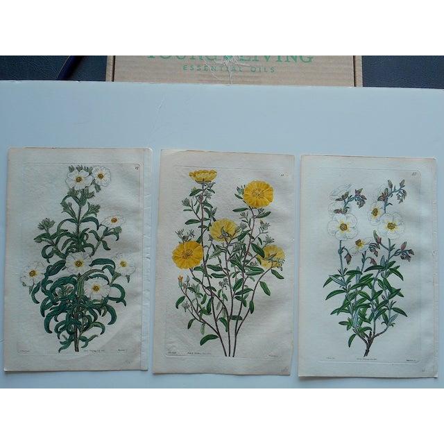 Antique Botanical Engravings - Set of 3 - Image 2 of 6