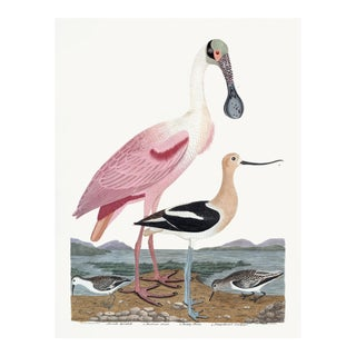Early American Spoonbill and Shore Birds Illustration by A. Wilson White Background (Cfa-Wd) For Sale