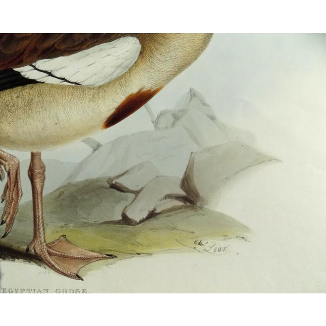 Egyptian Goose from Birds of Europe, 1837 by John Gould. John Gould (1804—1881) was the most well known publisher of...