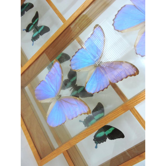 Blue Morpho's & Ulysses Box Framed Butterflies Wall Panel Hangings - Set of 3 For Sale - Image 9 of 13